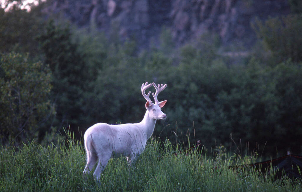Albino whitetail buck that is 2 years old with antlers in velvet (deer)