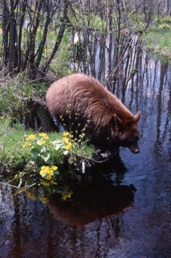 Brown black bear preparing to take a drink from creek.