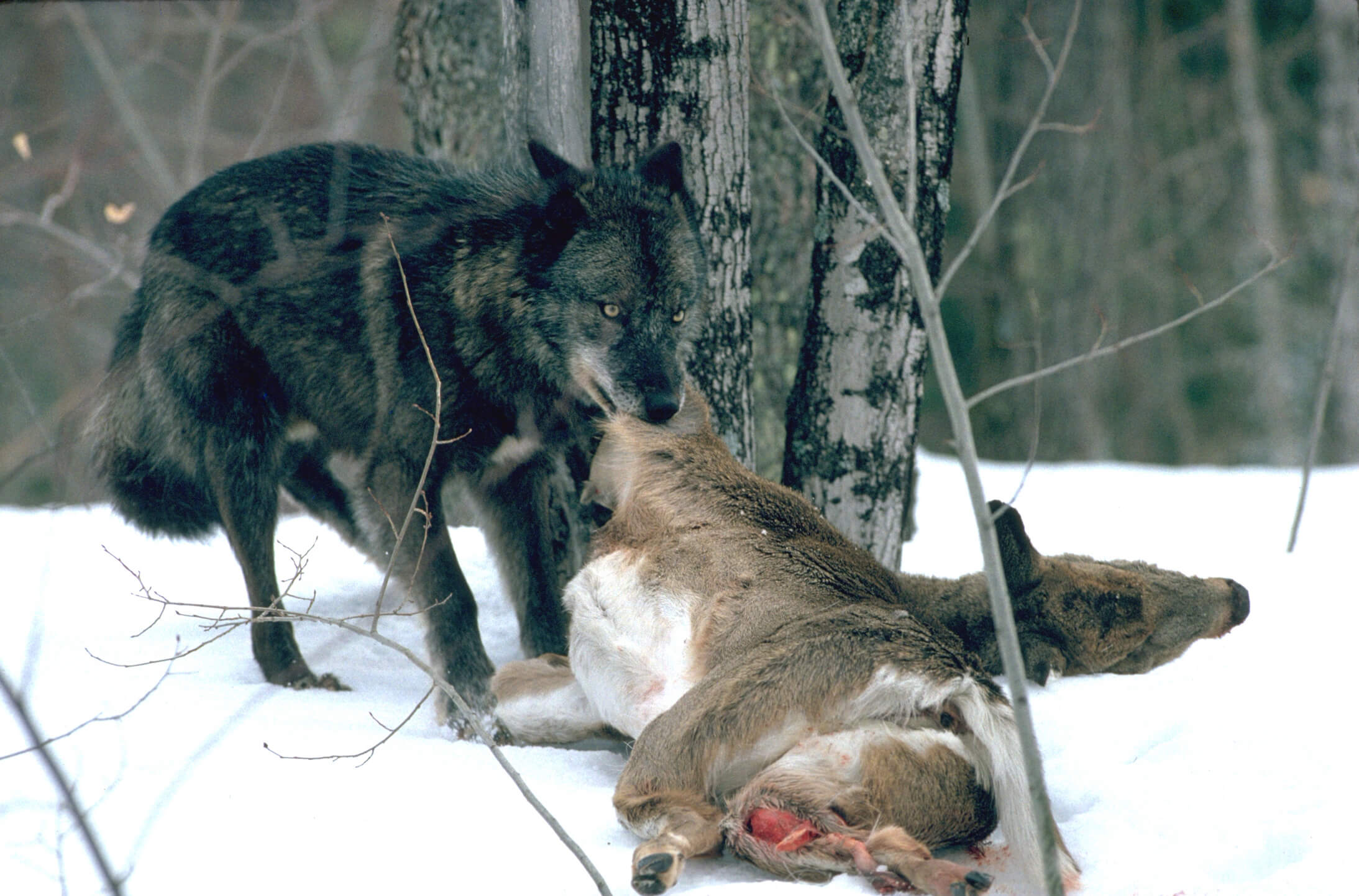 Wolf dragging a whitetail doe