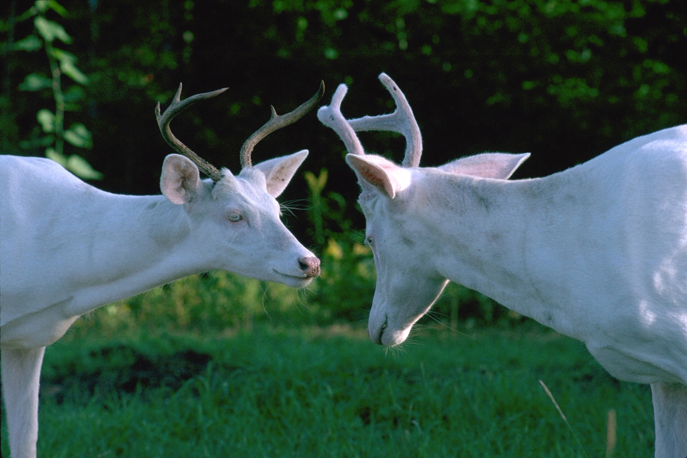 Twin Albino whitetail bucks compare antlers, one of which still has velvet covering