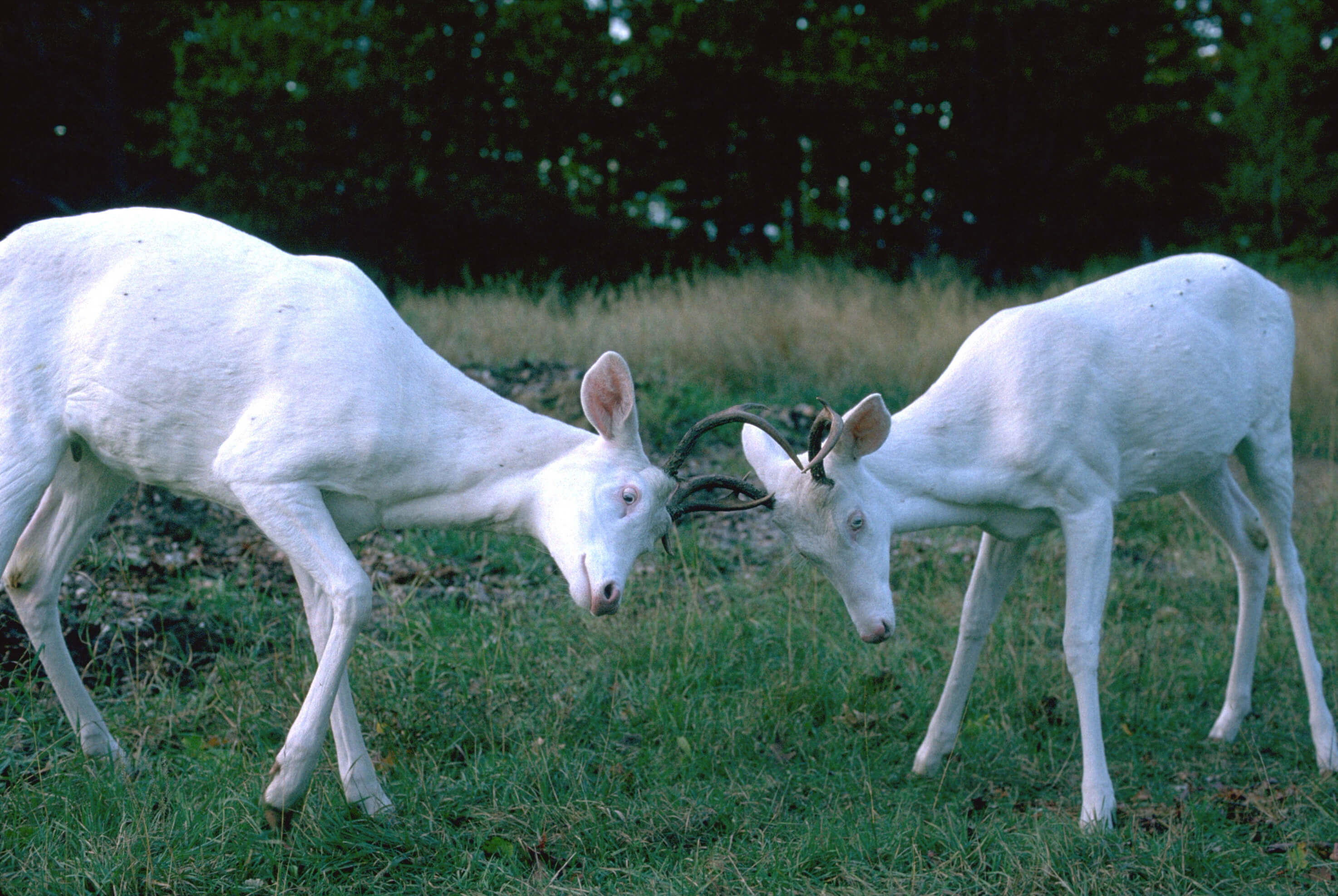 Twin Albino Whitetail Bucks Sparring