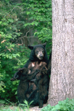 Female black bear nursing cubs.