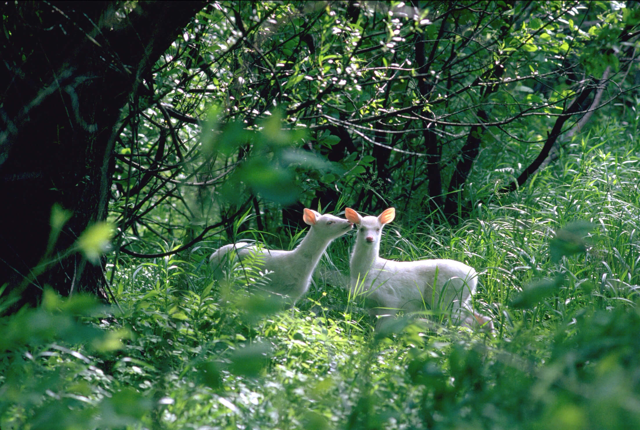 Twin Albino Whitetail Fawns