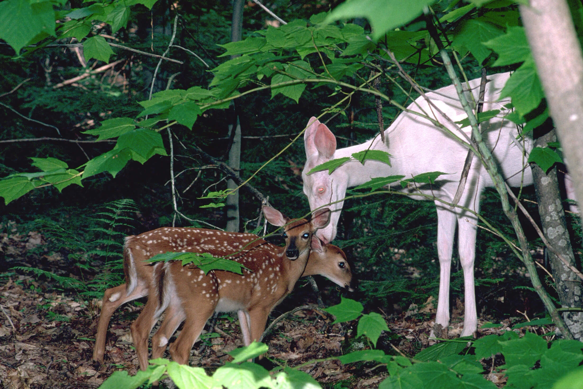 Albino whitetail doe with normally-colored twin fawns.
