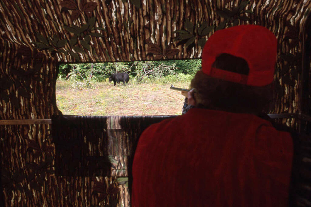 Hunter aiming at a black bear from a blind with a rifle.
