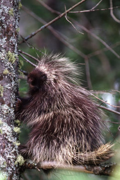 Porcupine sitting on a limb in a tree.