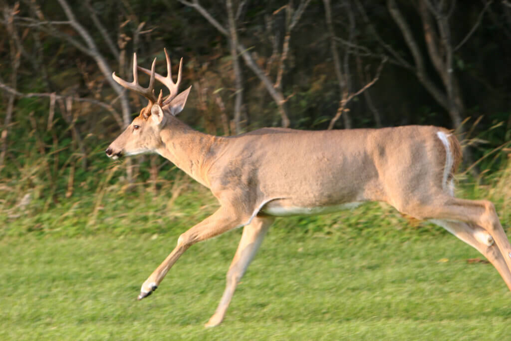 Running Whitetail Buck
