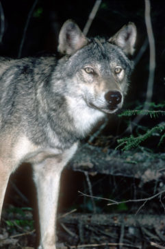 Closeup of a Wolf from the Upper Peninsula of Michigan
