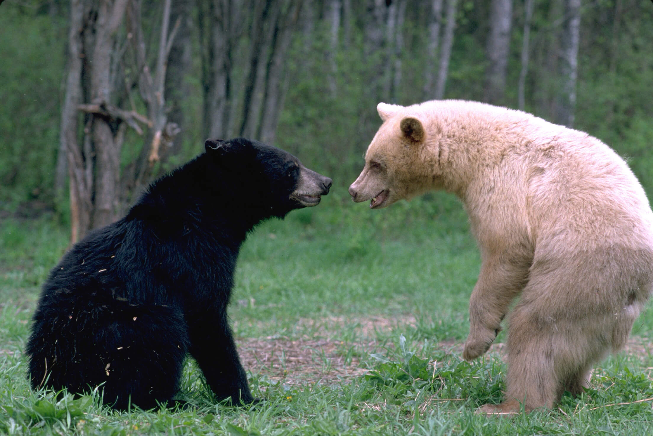 Black and White Black Bears