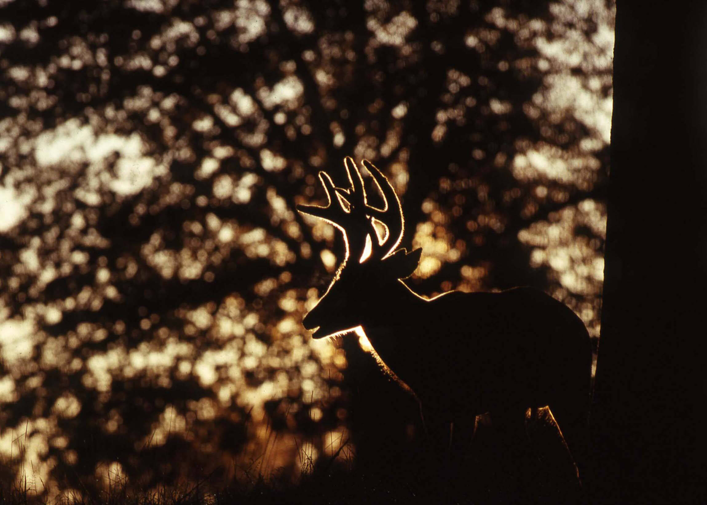 Whitetail buck in velvet is silhouetted by a rising sun.